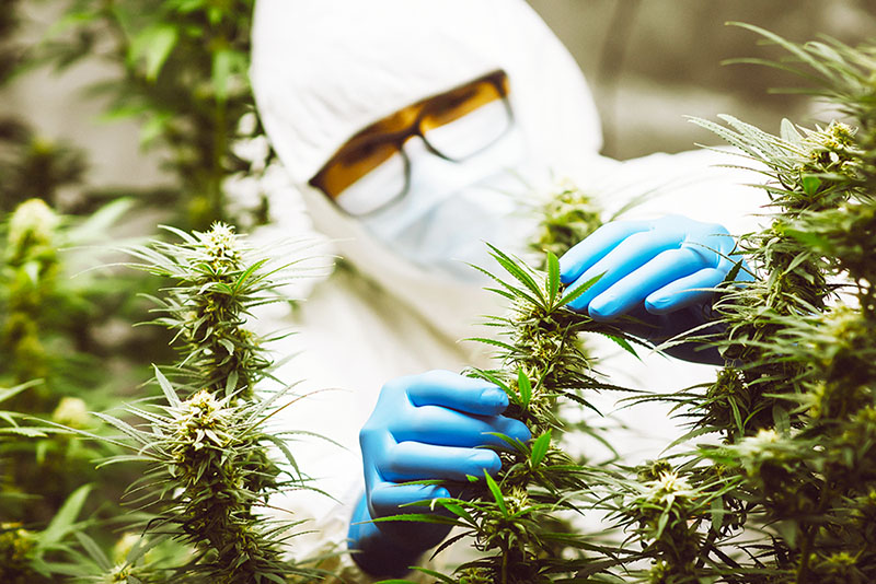 Patentability of Cannabis Products in South Africa